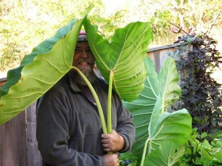 Elephant Ears, Colocasia
