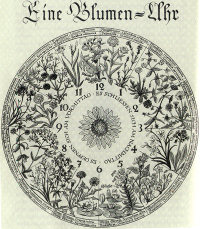 flower-clock, Horologium flore