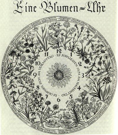 flower-clock, Horologium flore
