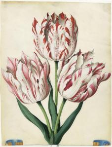 Tulip watercolour illustration