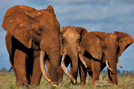 African Elephant (via NatGeo)
