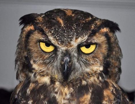 AngryOwl 01