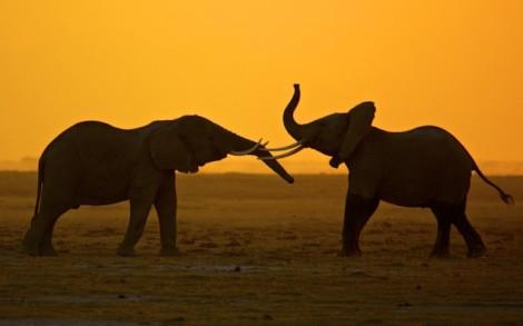 The African Elephant (via NatGeo)