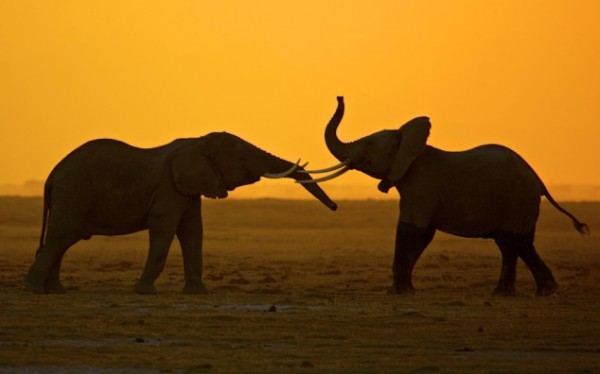 The African Elephant (via NatGeo)