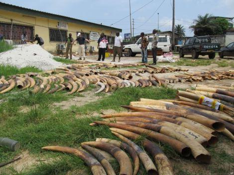 Gabon Ivory Pile