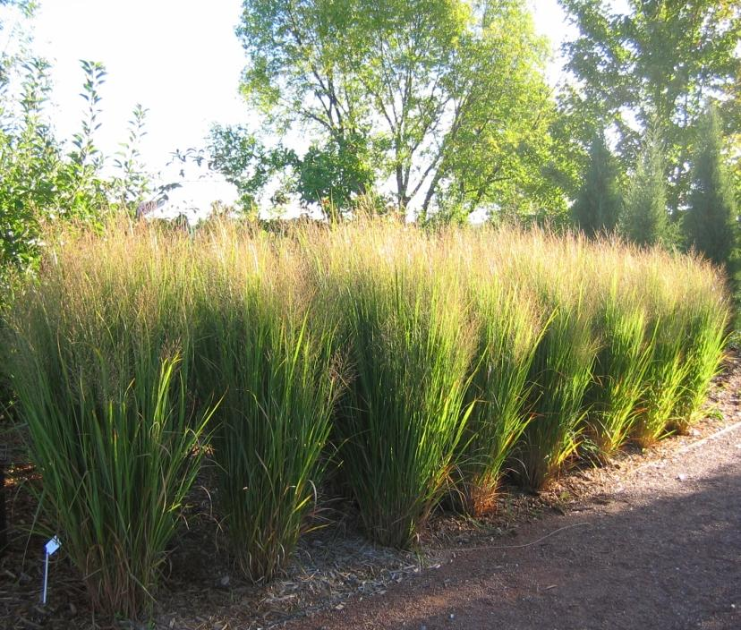 Panicum virgatum northwind 2014 plant of the year the for Tall grass plants for privacy