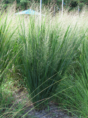 panicum virgatum northwind 2014 plant of the year the whispering crane institute. Black Bedroom Furniture Sets. Home Design Ideas